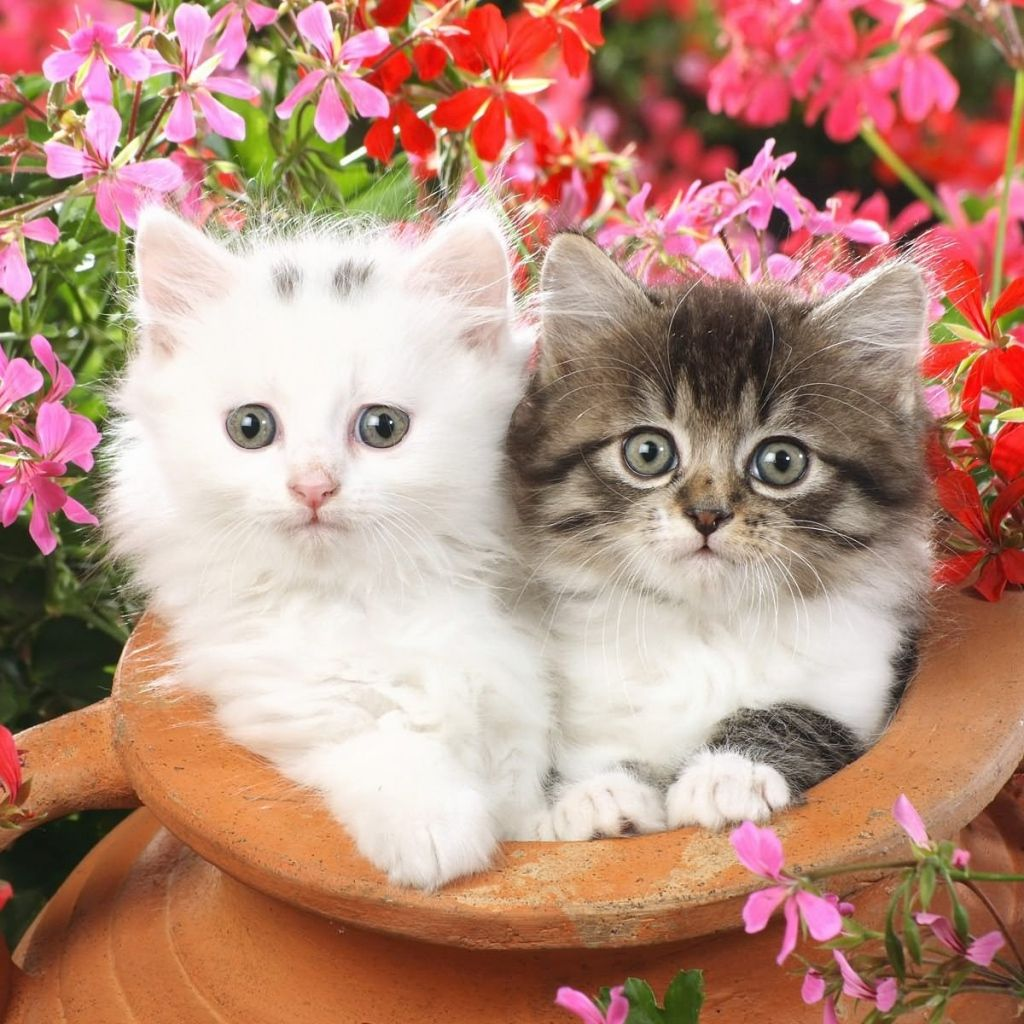 Wallpaper download in phone - Download Cute Cats 1024x1024 Free Hot Mobile Phone Wallpapers Www Wallpaper