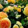 yellow roses,1024x1024,free,hot,mobile phone wallpapers,www.wallpaper-mobile.com