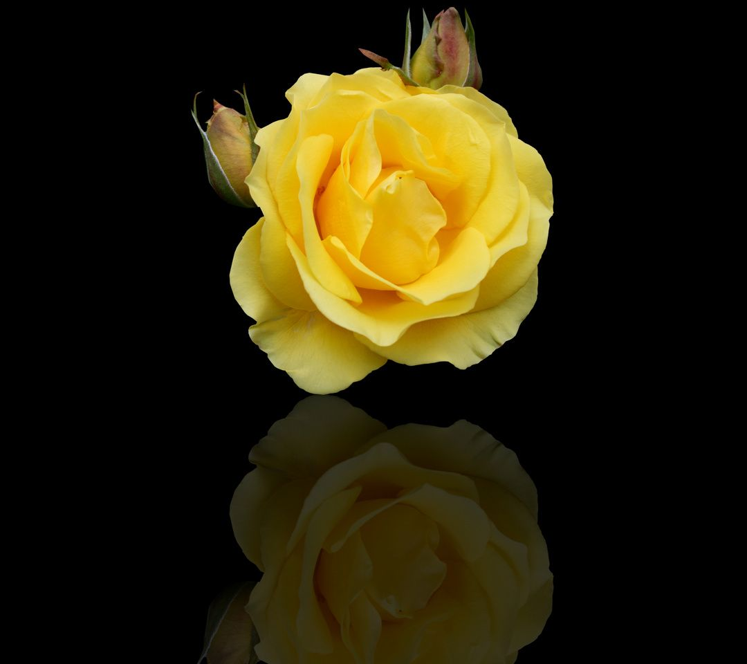 Wallpaper Of Yellow Rose: 1080x960 Mobile Phone Wallpapers Download