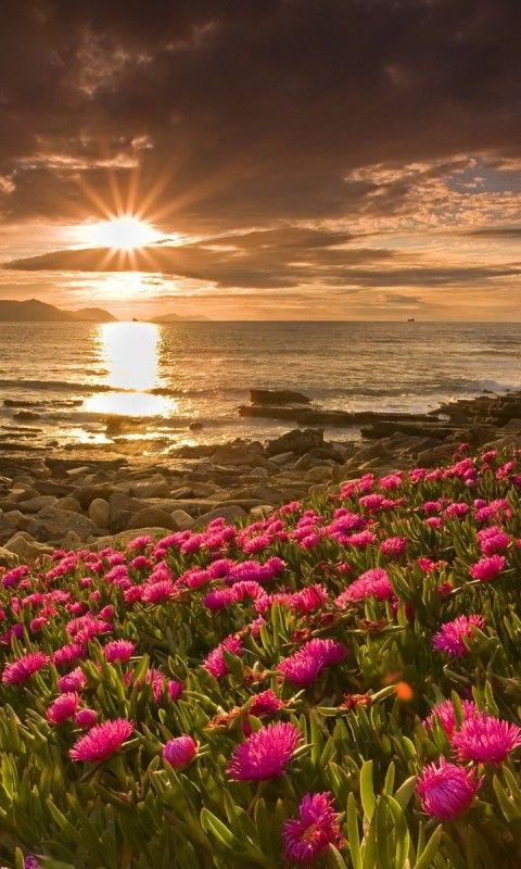 Download Sunset In The Flowers Field480x800800x480freehotmobile Phone
