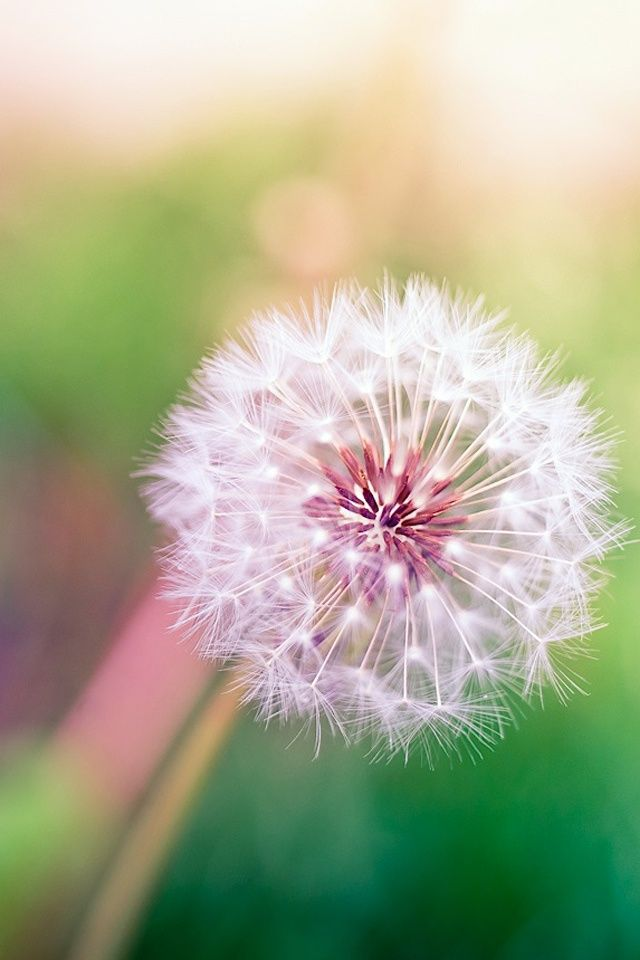 dandelion cell phone wallpaper quotes - photo #13