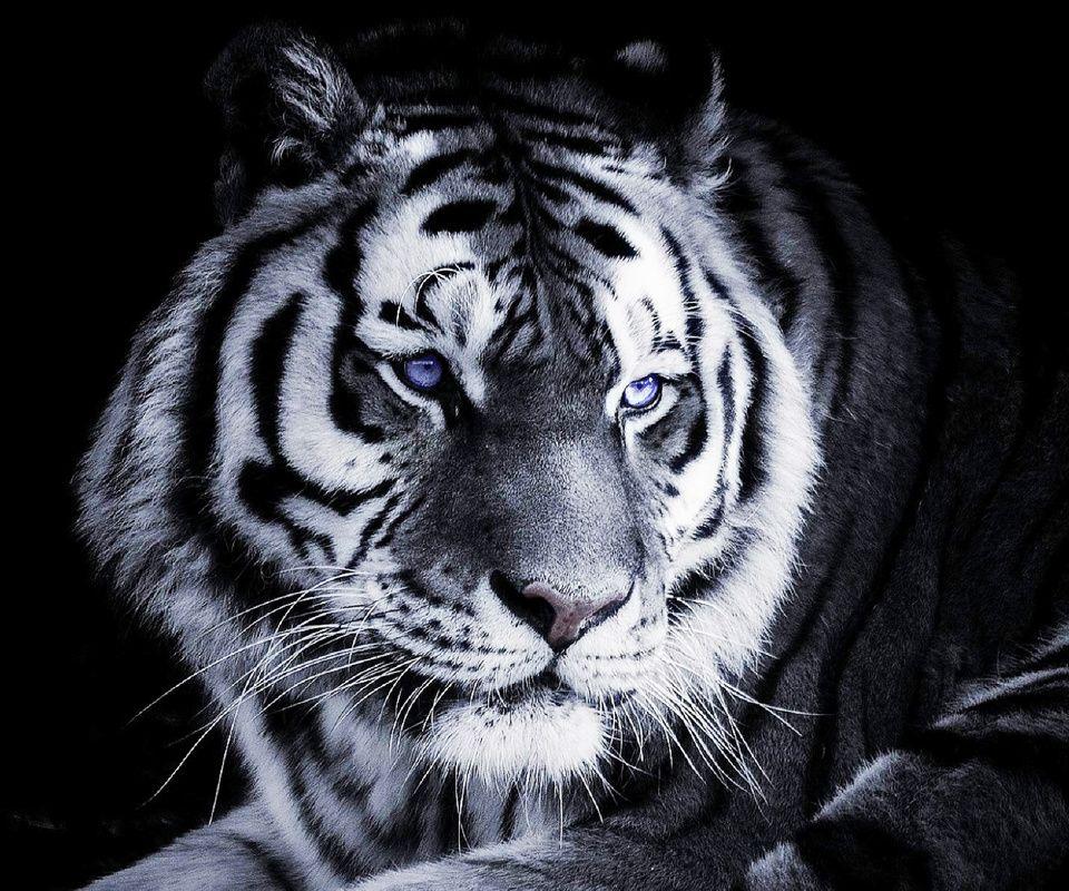 Tiger Art Wallpaper Jpg 960 800: 960x800 Mobile Phone Wallpapers Download