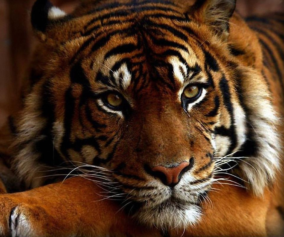 Tiger Art Wallpaper Jpg 960 800: 960x800 Mobile Phone Wallpapers Download